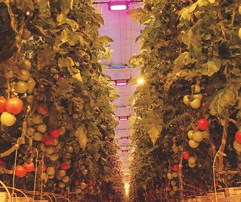 Motorleaf AI technology connected in an IoT scheme helps determine how many of those tomatoes will actually thrive. Eventually it might be able to adjust horticultural lighting to increase the chances. (Photo credit: Osram.)